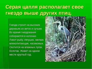 Серая цапля располагает свое гнездо выше других птиц. Гнезда строит на высоки