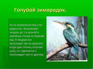 Голубой зимородок. Из-за загрязнения вод стал редкостью. Выкапывает пещеры д
