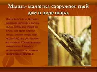 Мышь- малютка сооружает свой дом в виде шара. Длина тела 5-7 см. Питается сем