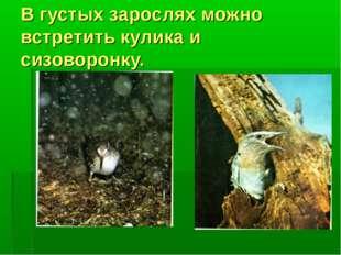 В густых зарослях можно встретить кулика и сизоворонку.