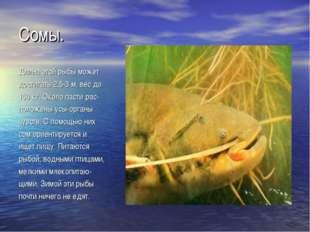Сомы. Длина этой рыбы может достигать 2,5-3 м, вес до 150 кг. Около пасти рас