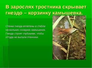 В зарослях тростника скрывает гнездо – корзинку камышевка. Стенки гнезда впле