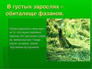 В густых зарослях – обиталище фазанов. Петухи окрашены очень ярко, не то, чт