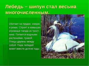 Лебедь – шипун стал весьма многочисленным. Обитает на прудах, озерах и реках.