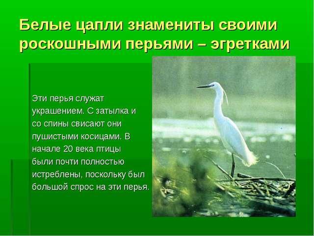 Белые цапли знамениты своими роскошными перьями – эгретками Эти перья служат...