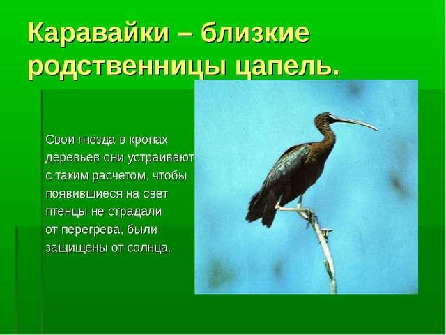 Каравайки – близкие родственницы цапель. Свои гнезда в кронах деревьев они ус...