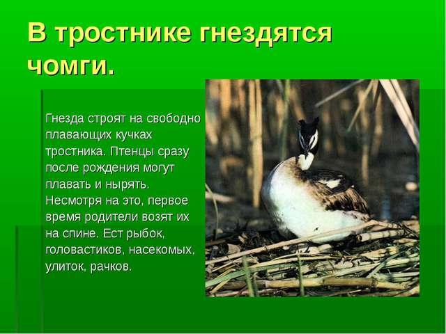 В тростнике гнездятся чомги. Гнезда строят на свободно плавающих кучках трост...