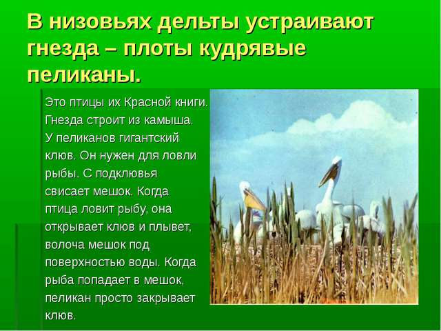 В низовьях дельты устраивают гнезда – плоты кудрявые пеликаны. Это птицы их К...
