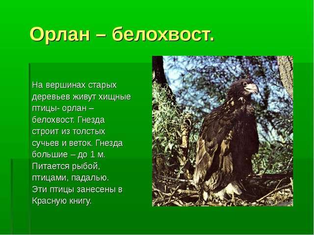 Орлан – белохвост. На вершинах старых деревьев живут хищные птицы- орлан – б...