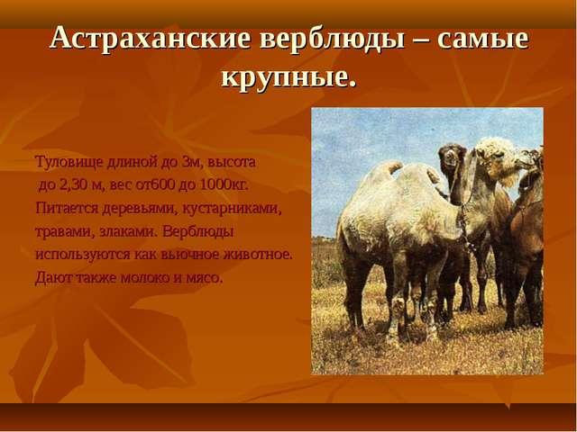 Астраханские верблюды – самые крупные. Туловище длиной до 3м, высота до 2,30...