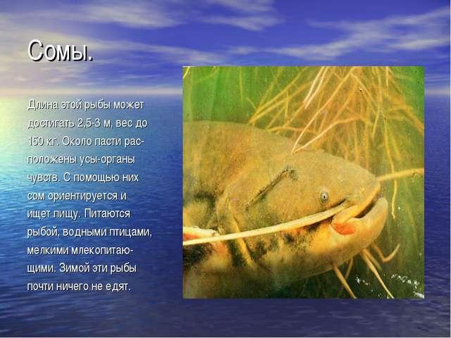 Сомы. Длина этой рыбы может достигать 2,5-3 м, вес до 150 кг. Около пасти рас...