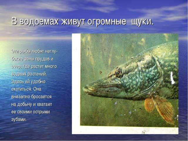 В водоемах живут огромные щуки. Эти рыбы любят неглу- бокие зоны прудов и озе...