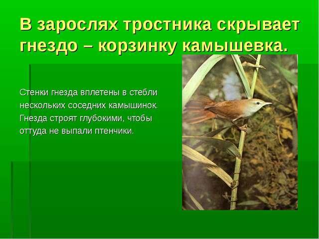 В зарослях тростника скрывает гнездо – корзинку камышевка. Стенки гнезда впле...