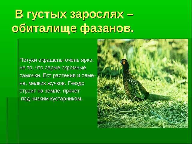 В густых зарослях – обиталище фазанов. Петухи окрашены очень ярко, не то, чт...