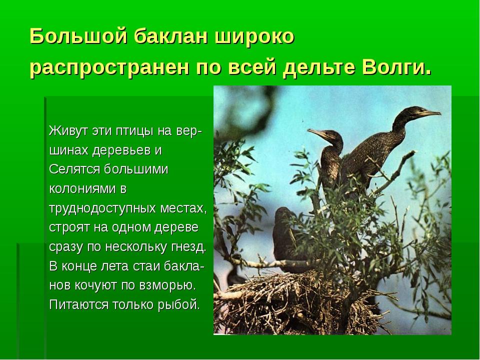 Большой баклан широко распространен по всей дельте Волги. Живут эти птицы на...