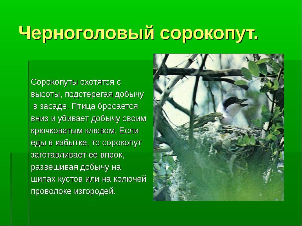 Черноголовый сорокопут. Сорокопуты охотятся с высоты, подстерегая добычу в за...