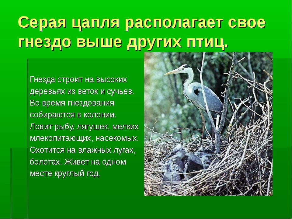 Серая цапля располагает свое гнездо выше других птиц. Гнезда строит на высоки...