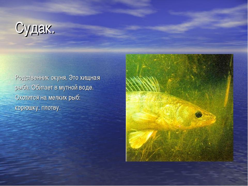 Судак. Родственник окуня. Это хищная рыба. Обитает в мутной воде. Охотится на...