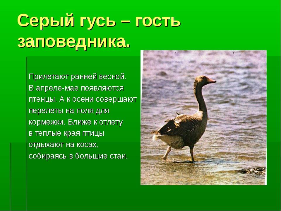 Серый гусь – гость заповедника. Прилетают ранней весной. В апреле-мае появляю...