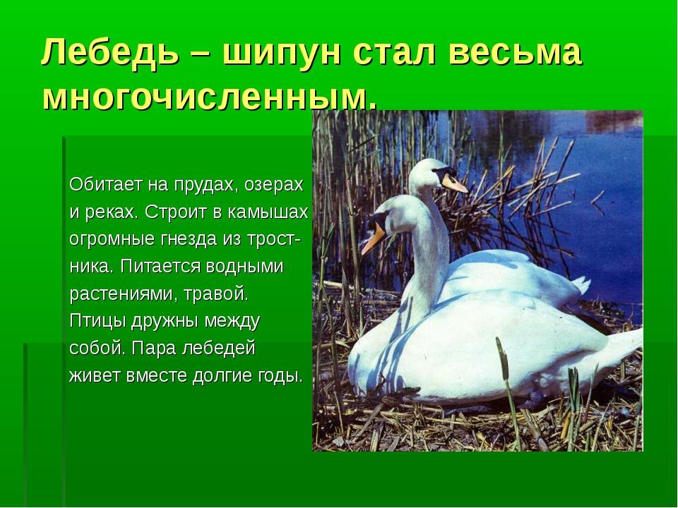 Лебедь – шипун стал весьма многочисленным. Обитает на прудах, озерах и реках....