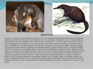Выхухоль — зверек небольшой, длина его в среднем 20 см, а вес примерно полкил