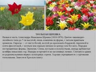 ТЮЛЬПАН ШРЕНКА Назван в честь Александра Ивановича Шренка (1816-1876). Цветок