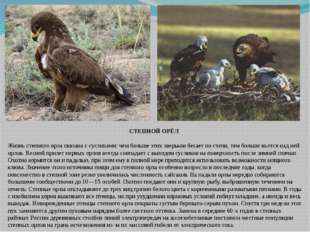 СТЕПНОЙ ОРЁЛ Жизнь степного орла связана с сусликами: чем больше этих зверько