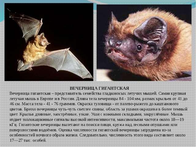 ВЕЧЕРНИЦА ГИГАНТСКАЯ Вечерница гигантская – представитель семейства гладконос...