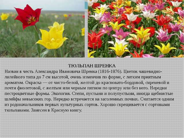 ТЮЛЬПАН ШРЕНКА Назван в честь Александра Ивановича Шренка (1816-1876). Цветок...
