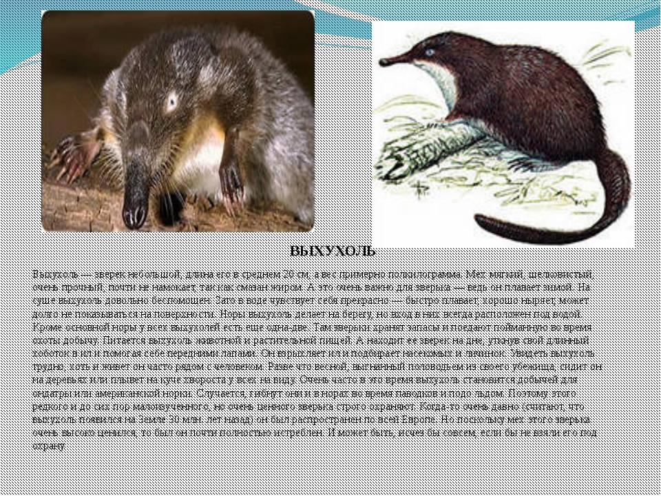 Выхухоль — зверек небольшой, длина его в среднем 20 см, а вес примерно полкил...