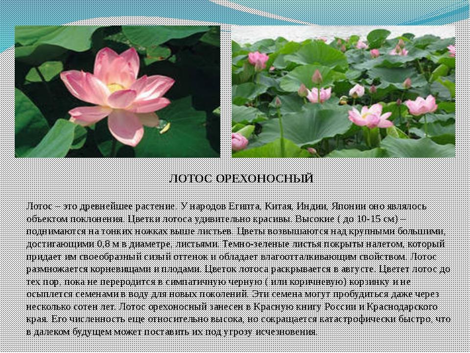 ЛОТОС ОРЕХОНОСНЫЙ Лотос – это древнейшее растение. У народов Египта, Китая,...