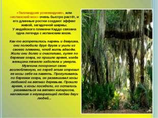 «Тилландсия уснеевидная», или «испанский мох» очень быстро растёт, и его длин
