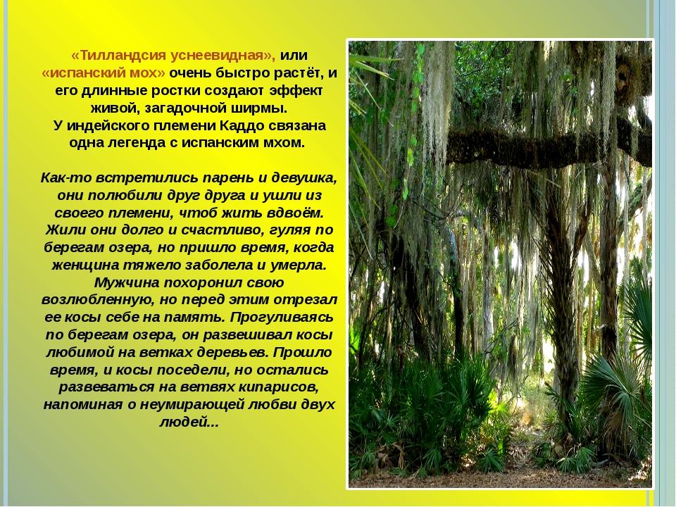 «Тилландсия уснеевидная», или «испанский мох» очень быстро растёт, и его длин...