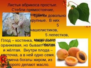 Листья абрикоса простые. Стебли прямостоячие, деревянистые. Цветки довольно к