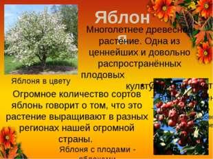 Яблоня Яблоня в цвету Яблоня с плодами - яблоками Многолетнее древесное расте