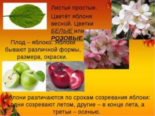 Листья простые. Цветёт яблоня весной. Цветки БЕЛЫЕ или РОЗОВЫЕ. Плод – яблоко