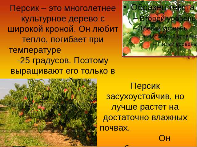 Персик – это многолетнее культурное дерево с широкой кроной. Он любит тепло,...