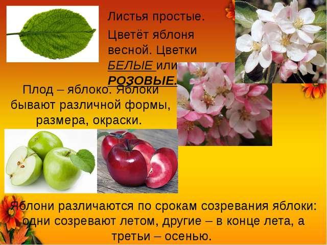 Листья простые. Цветёт яблоня весной. Цветки БЕЛЫЕ или РОЗОВЫЕ. Плод – яблоко...