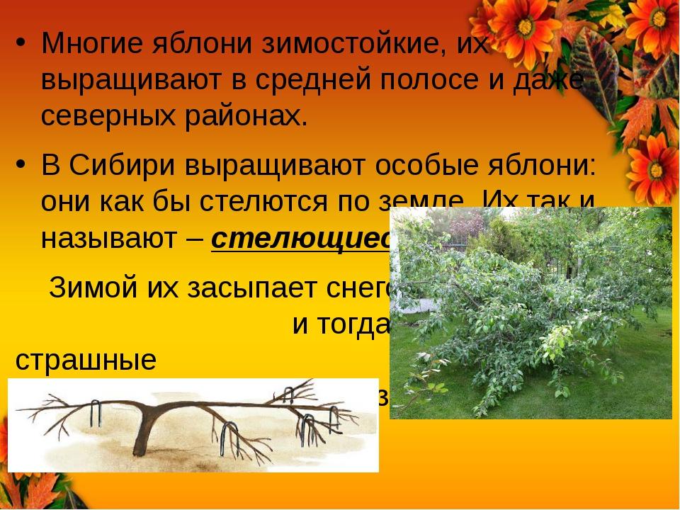 Многие яблони зимостойкие, их выращивают в средней полосе и даже северных рай...
