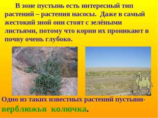Одно из таких известных растений пустыни- верблюжья колючка. В зоне пустынь е