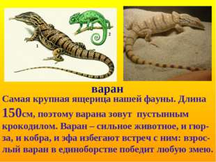 варан Самая крупная ящерица нашей фауны. Длина 150см, поэтому варана зовут пу