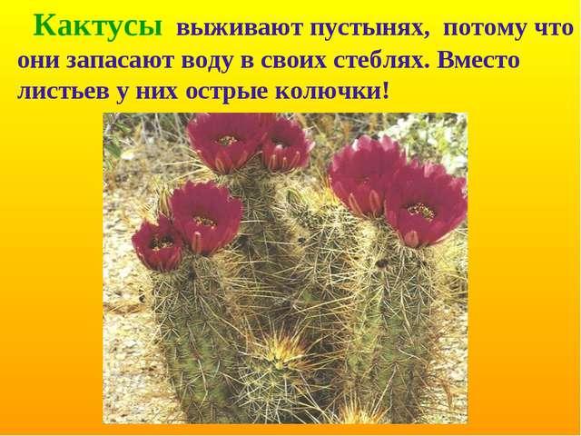Кактусы выживают пустынях, потому что они запасают воду в своих стеблях. Вме...