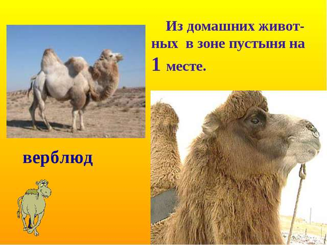верблюд Из домашних живот-ных в зоне пустыня на 1 месте.