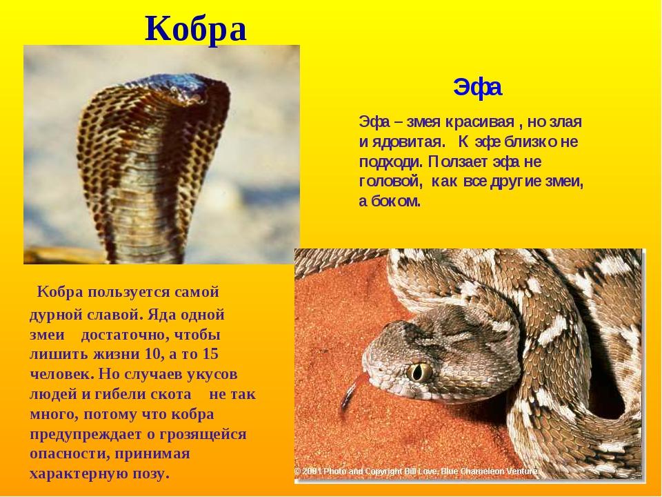 Кобра Кобра пользуется самой дурной славой. Яда одной змеи достаточно, чтобы...
