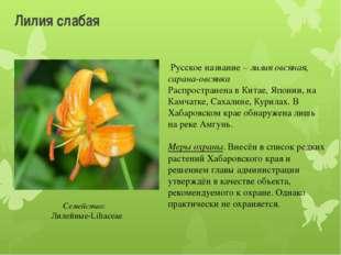 Лилия слабая Русское название – лилия овсяная, сарана-овсянка Распространена