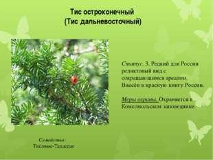 Тис остроконечный (Тис дальневосточный) Семейство: Тисовые-Taxaceae Статус.