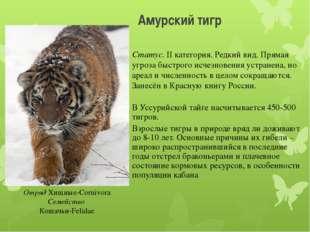 Амурский тигр Отряд Хищные-Cornivora Семейство Кошачьи-Felidae Статус. II кат
