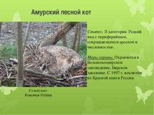 Амурский лесной кот Отряд Хищные-Carnivora Семейство Кошачьи-Felidae Статус.