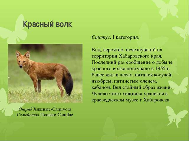 Красный волк Отряд Хищные-Carnivora Семейство Псовые-Canidae Статус. I катего...