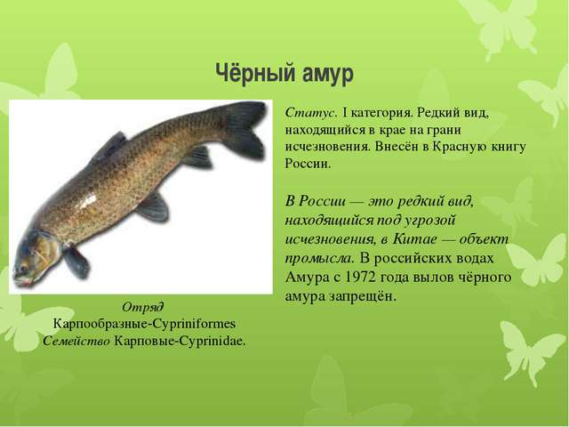 Чёрный амур Отряд Карпообразные-Cypriniformes Семейство Карповые-Cyprinidae....